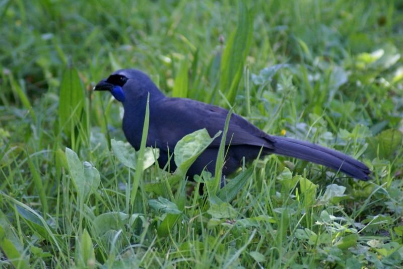We were treated to two rare Kokako on the track one day. They subsequently followed us through the trees.