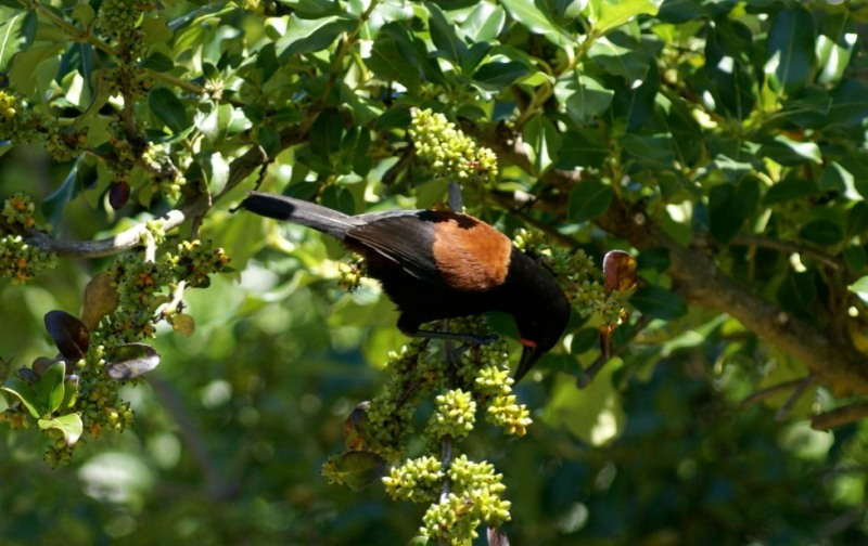 New Zealand Saddleback bird