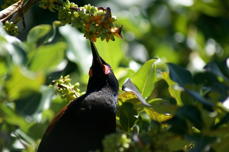 A close look at a Saddleback