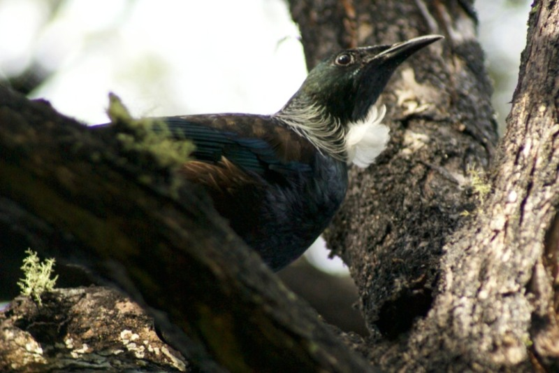 A closer look at a Tui