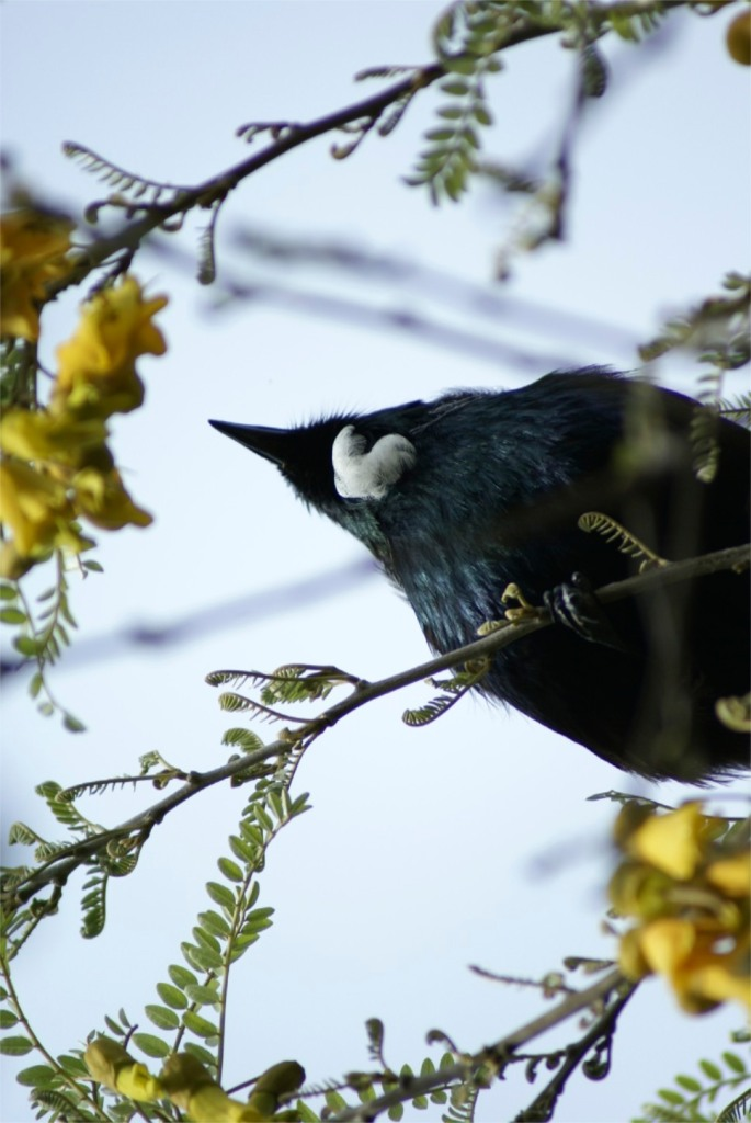 """Tui heaven"", the spring blooming of the Kowhai tree"