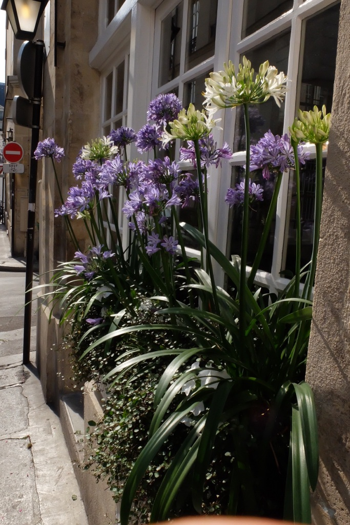 We consider them noxious weeds, Parisians put them in their window boxes