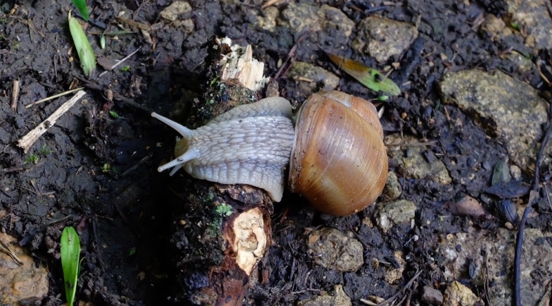 "A very large local ""Roman snail"""