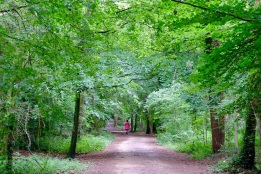 Typical beech woods, this time with a very wide walking track.