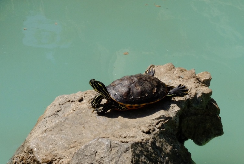 We found this guy ruling the sunniest spot in a pool full of turtles. The No 1 Ninja