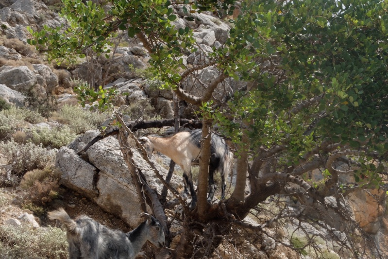 The goats are very good tree climbers, you certaily have to be if you want to have a daily intake of greens, there is no green stuff close to the earth which is parched to an almost white colour.