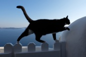 The stray cats have been everywhere in Greece (makes it feel like home) even here in Santorini