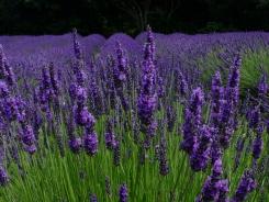 Lavender in Taranaki, NZ