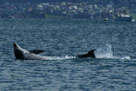 Dolphin lazing around - Kawau Island NZ