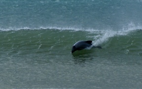 A rare action shot - An endangered Hectors dolphin surfing - Curio Bay, NZ